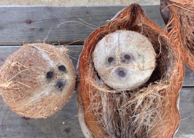 3穴の空いた椰子の実