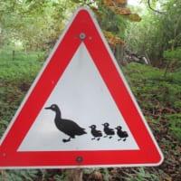 カルガモ親子注意、の標識
