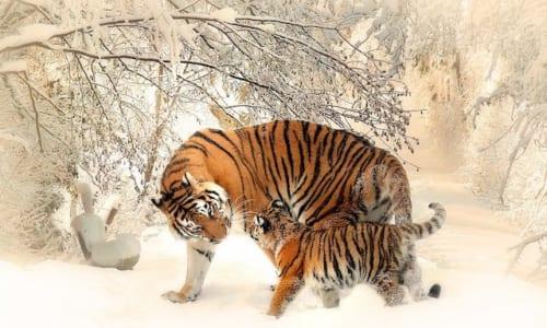 雪の中のトラの親子