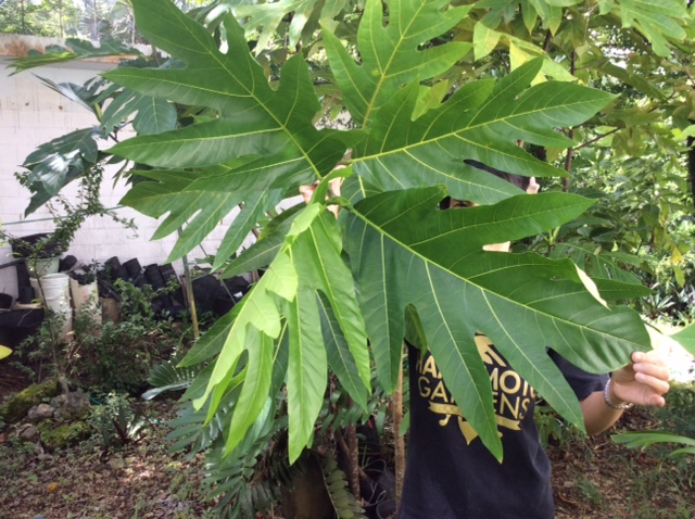 パンの木の葉