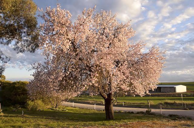 桜のようなピンクの花をつけたアーモンドブロッサム