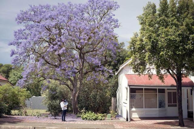 紫の花をつけたジャカランダの木