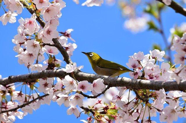 桜の花と鳥